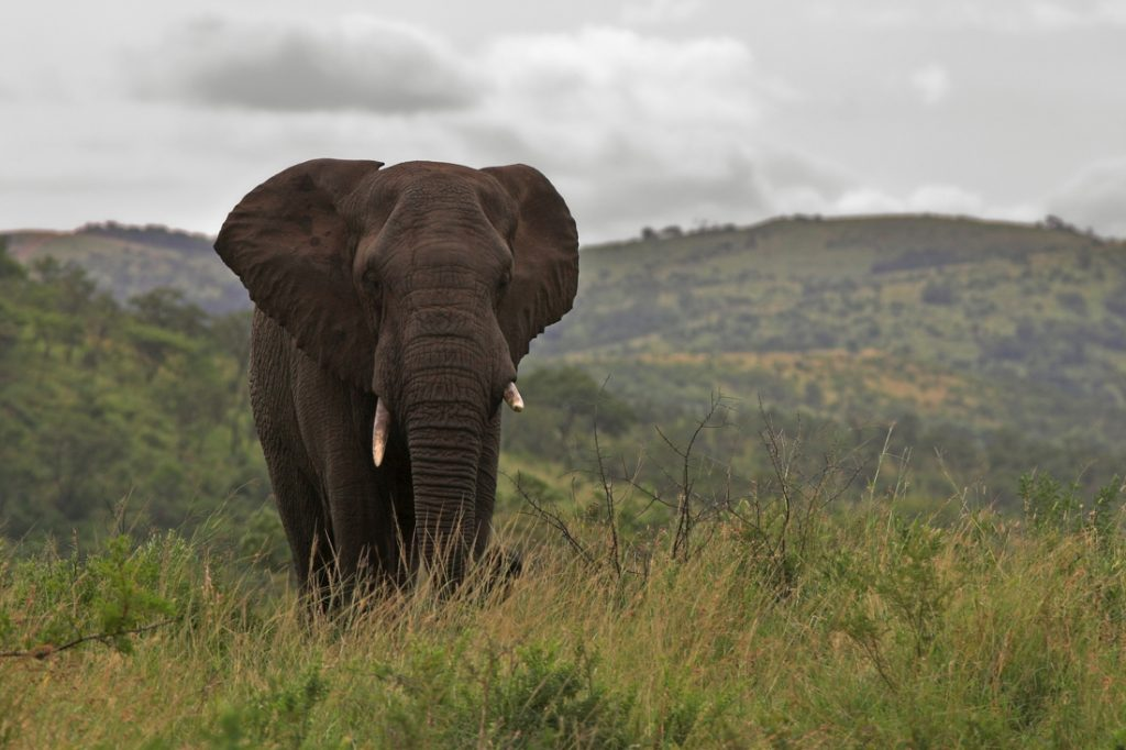 Elephants tossing poachers to death in South Africa