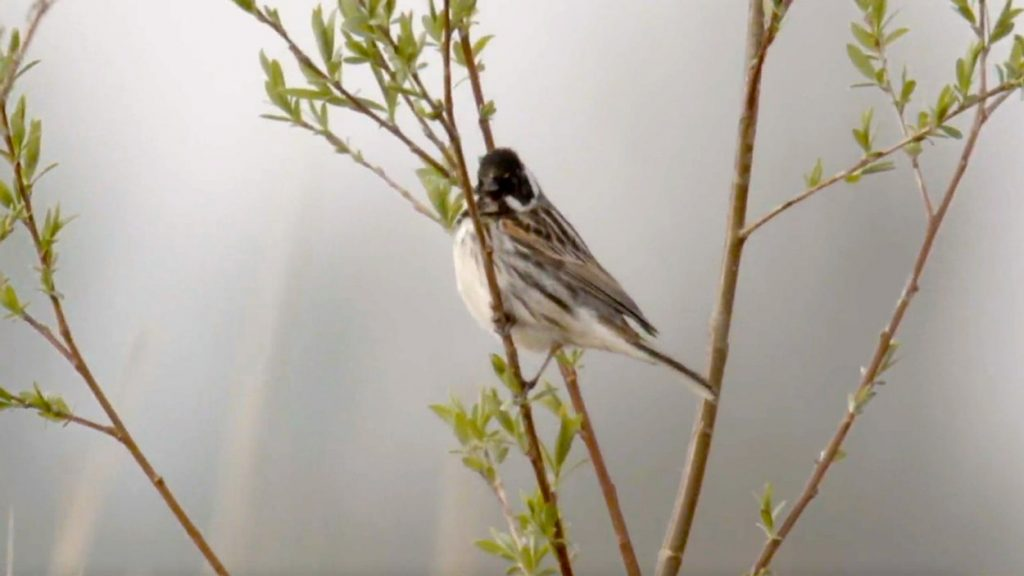 Birds also benefit from Room for the River - Early Birds