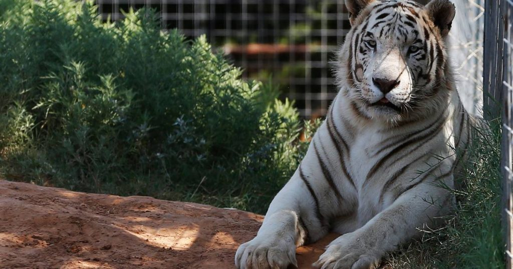 Dozens of animals confiscated in Tiger King Park |  the animals
