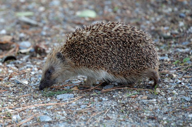 New Zealand to exterminate hedgehogs |  the morning