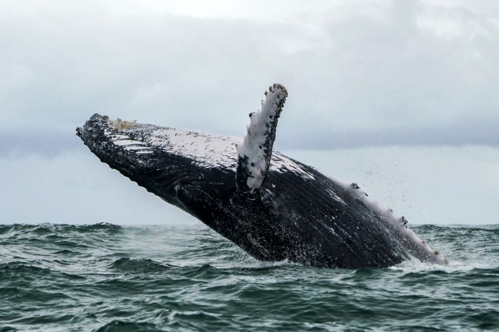 Amerikaanse visser halve minuut opgeslokt door bultrug en weer uitgespuwd