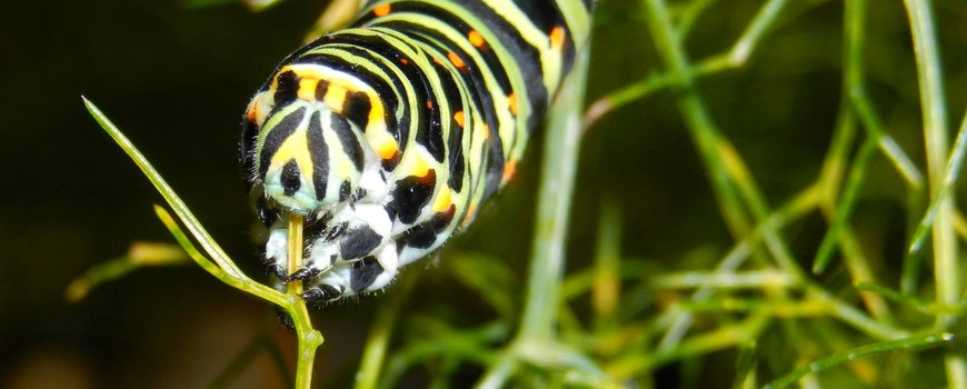 Nature today    Butterfly plants host through a chemical lens