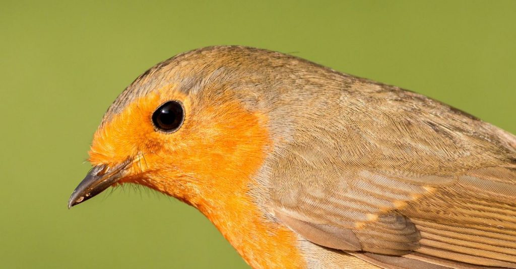 """Robin """"sees"""" the Earth's magnetic field with the retina"""