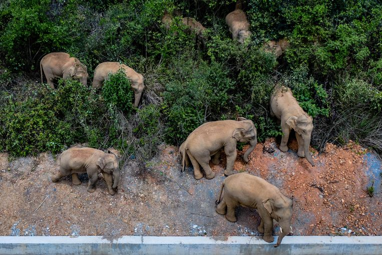The elephant parade in the Chinese capital scores scores on social media, but the reason for their escape is less beautiful