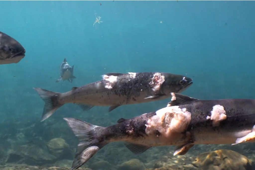 A heat wave makes the water so hot that salmon almost boils alive...
