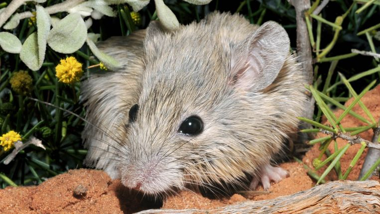 This supposedly extinct mouse could hide for decades by switching identity