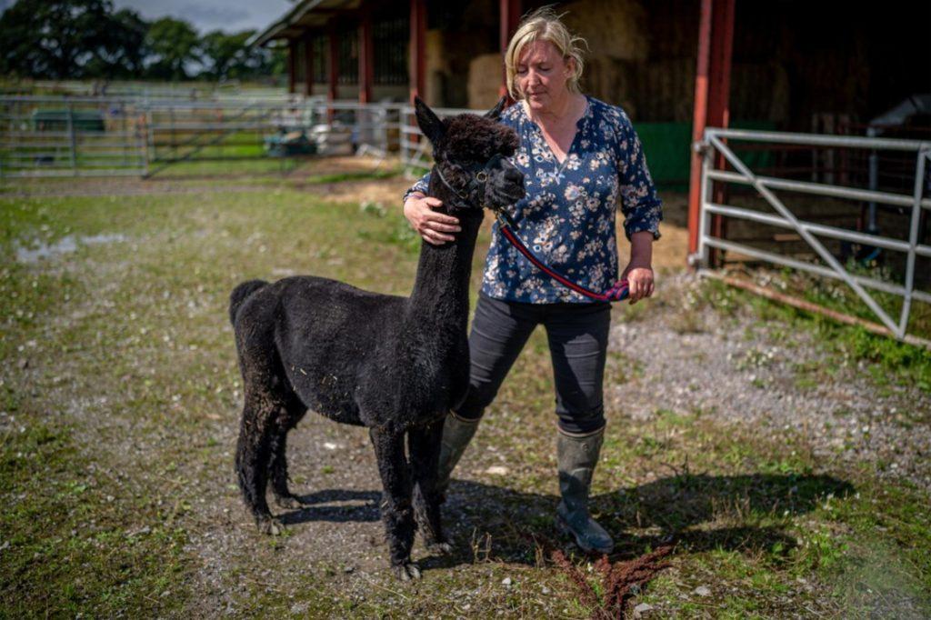 Alpaca beroert de gemoederen in VK: moet hij sterven?