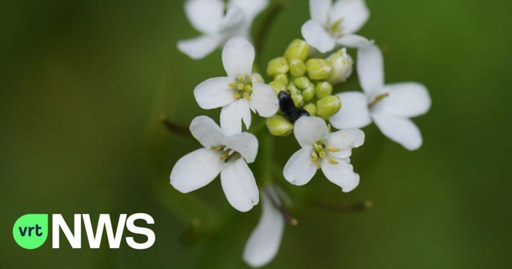 Plants grow bigger to handle heat, VIB-UGent team reveals role of phytohormone