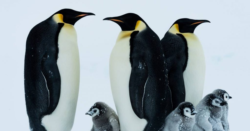 """""""The famous emperor penguin will be extinct in 80 years due to climate change"""" 