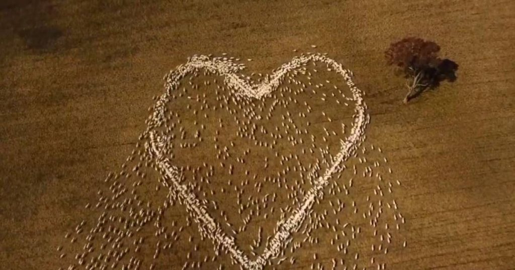 Touch: Australian sheep farmer lets sheep form a heart to honor a deceased aunt    The best thing on the web