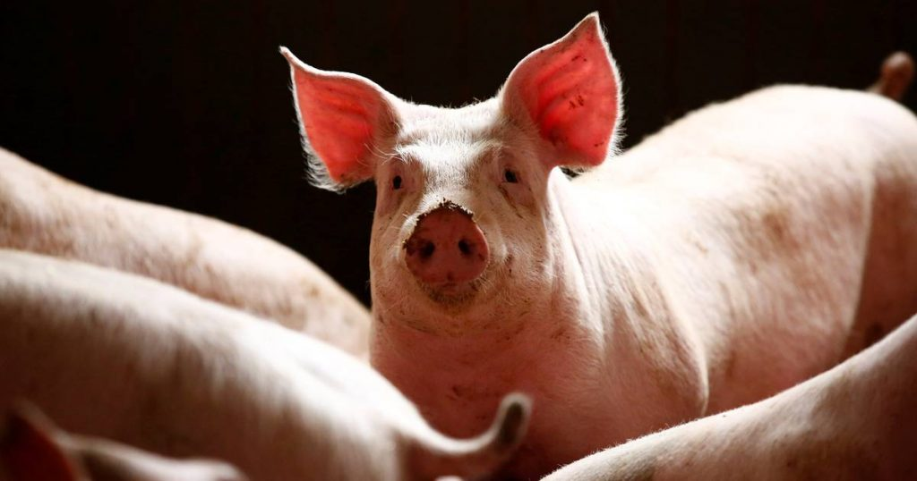 Belgian pork export ban lifted in 14 of 30 countries    interior