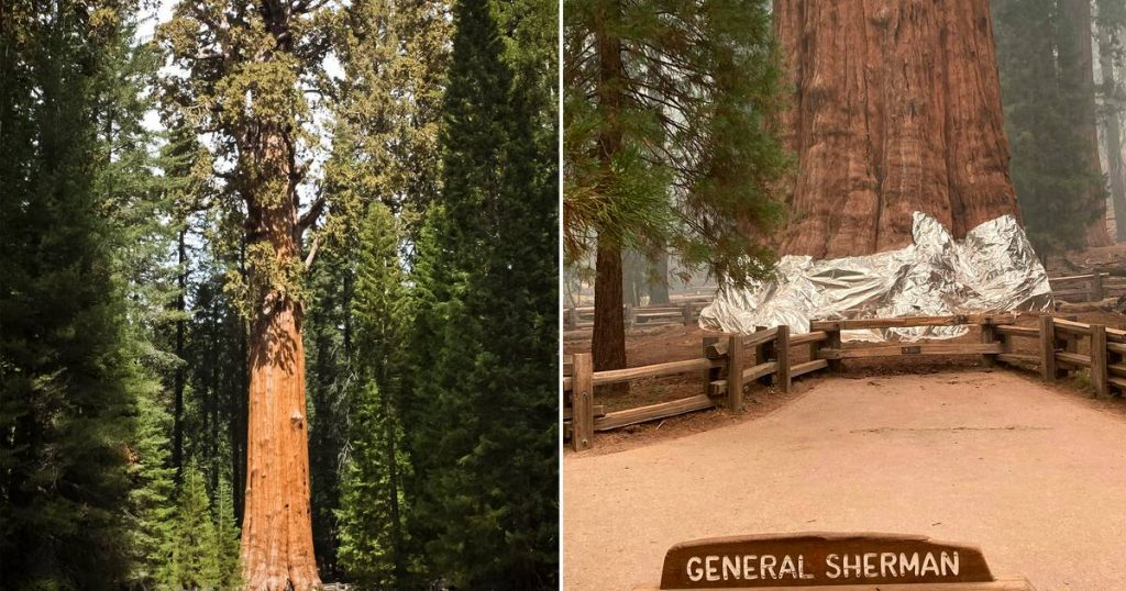 The largest tree in the world wrapped in a fire-resistant blanket for fear of forest fires    Abroad