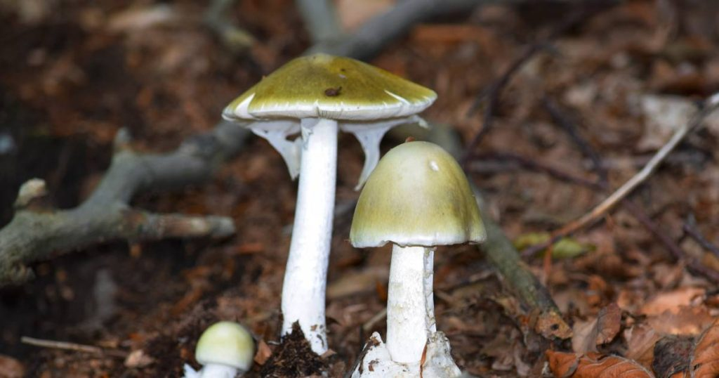 Two Afghan brothers die after eating poisonous mushrooms in Poland    Abroad