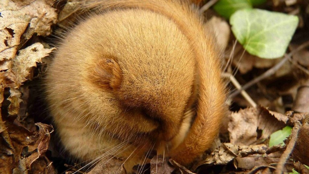 Do you want to get younger by sleeping?  These animals will go into hibernation in the coming months