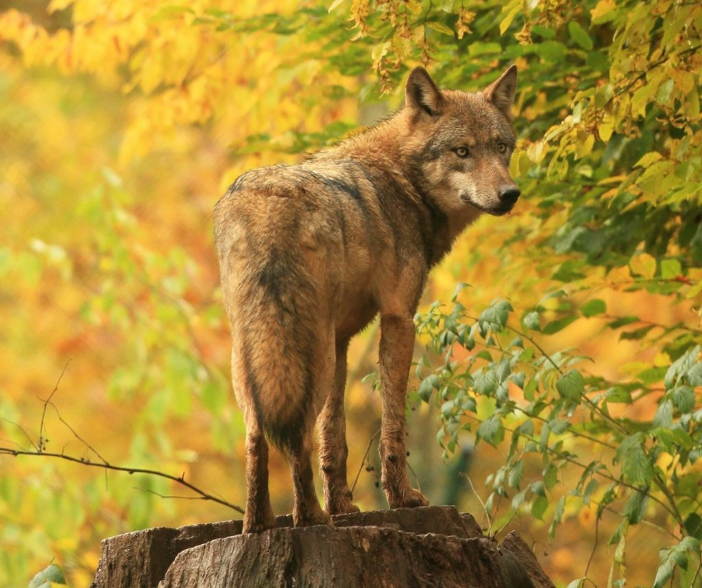 German conservationists sounded the alarm about killing wolves